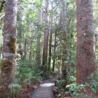 Kauri Trees Walk Northland new zealand